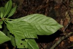 Sclerochiton kirkii