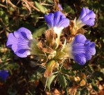 Blepharis diversispina