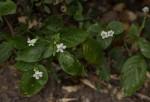Asystasia gangetica subsp. micrantha