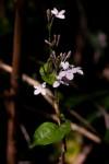 Pseuderanthemum subviscosum