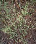 Dicliptera verticillata