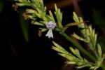 Hypoestes forskaolii subsp. forskaolii