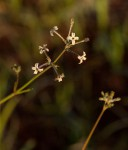 Kohautia caespitosa subsp. brachyloba