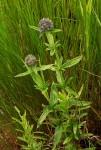 Agathisanthemum globosum