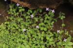 Oldenlandia cana