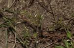 Oldenlandia corymbosa var. caespitosa