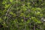 Crossopteryx febrifuga