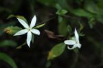 Leptactina delagoensis subsp. delagoensis