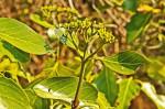 Coptosperma rhodesiacum