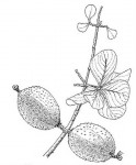 Gardenia volkensii subsp. spatulifolia