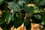 Cremaspora triflora subsp. triflora