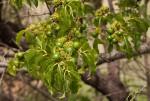 Vangueria apiculata