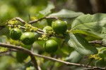 Vangueria infausta subsp. infausta