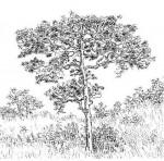 Vangueriopsis lanciflora
