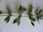 Fadogia cienkowskii var. cienkowskii