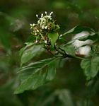 Rutidea fuscescens subsp. fuscescens