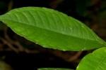 Psychotria peduncularis var. angustibracteata
