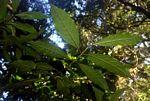 Lasianthus kilimandscharicus subsp. kilimandscharicus