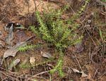 Anthospermum rigidum subsp. pumilum