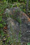 Anthospermum ternatum subsp. randii
