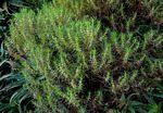 Anthospermum vallicola