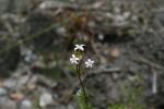 Otiophora inyangana subsp. parvifolia