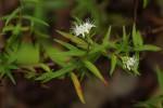 Otiophora lanceolata