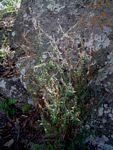 Otiophora scabra subsp. scabra