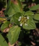 Richardia brasiliensis