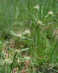 Spermacoce natalensis