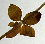 Galium thunbergianum var. hirsutum