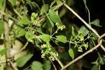 Rubia cordifolia subsp. conotricha