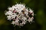 Valeriana capensis var. capensis