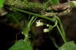 Zehneria microsperma