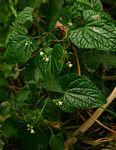 Zehneria scabra subsp. scabra