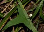 Zehneria thwaitesii