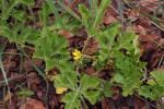 Citrullus lanatus