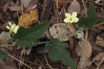 Cucumis hirsutus