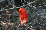 Trochomeria macrocarpa subsp. macrocarpa