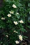 Eureiandra fasciculata