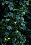 Peponium chirindense