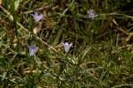 Gunillaea rhodesica