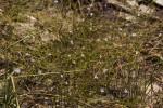 Wahlenbergia banksiana