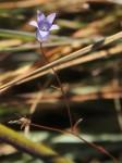 Wahlenbergia capillacea subsp. tenuior