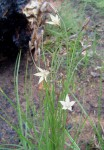 Wahlenbergia virgata