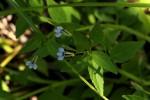 Lobelia fervens subsp. fervens