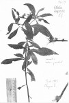 Ethulia conyzoides subsp. conyzoides