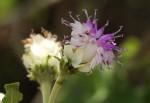 Vernonia calvoana subsp. meridionalis