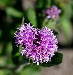 Vernonia galpinii