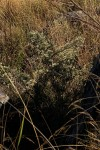 Vernonia glaberrima